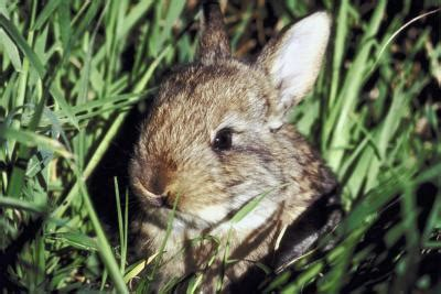 how to get rid of bunnies in backyard home remedies to keep rabbits out of the garden home