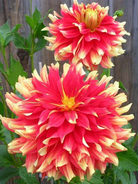 235 Best Images About Dahlia On Pinterest Gardens Old Dahlia Flower Garden