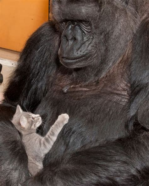 Koko Vio conoce a koko la gorila que adopt 243 a peque 241 os gatitos