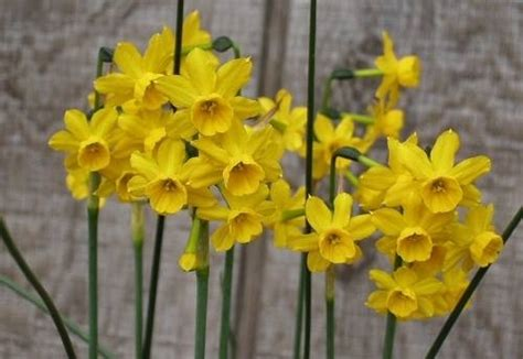 fiori narciso fiori narciso fiori delle piante