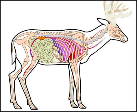 whitetail deer diagram placement guidelines for archers 171 bayou bucks