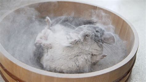 bathroom dust chinchilla dust bath