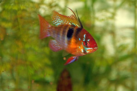 goldfisch schuppen stehen ab schmetterlingsbuntbarsch foto bild tiere haustiere