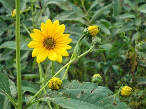 fiore topinambur un piccolo giardino in citt 224 topinambur il fiore
