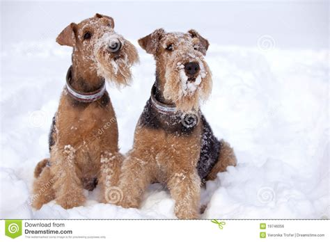 winter airedale haircut frosty airedale terrier dogs royalty free stock image