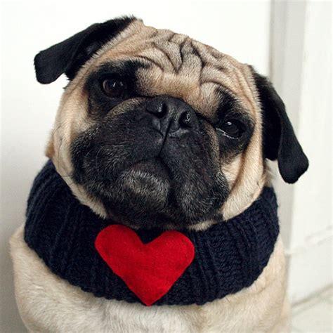 loving pug pug pets being