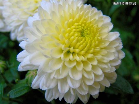 mums flowers 20 best ideas about flowers on pinterest fall flowers pictures of and flower
