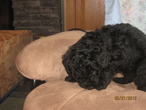 standard poodle puppies for sale in pa poodles in pa poodle breeder tioga pennsylvania