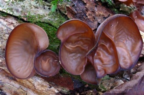 menanam  budidaya jamur kuping bibitbungacom