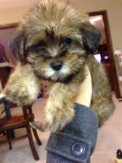 shih tzu teddy mix puppy puppys and teddy bears on