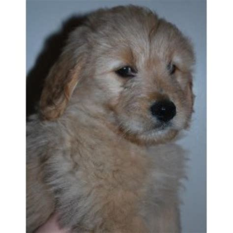 forever paws puppy rescue indiana hilltop golden paws goldendoodles goldendoodle breeder in duncansville pennsylvania
