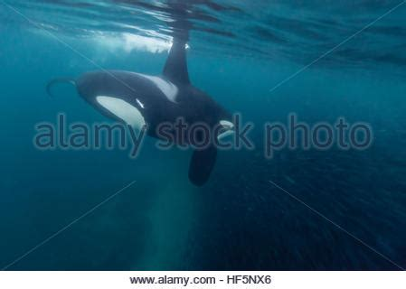orca whale attacks fishing boat killer whale or orca orcinus orca and a herring fishing
