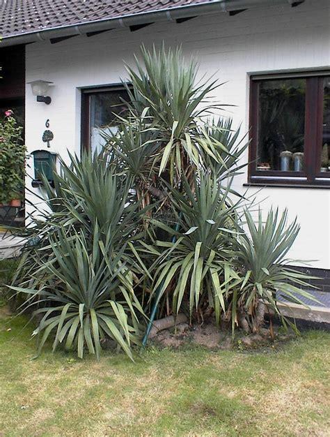 garten yucca teilen exoten in duesseldorf