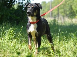 puppies for adoption in kansas city view ad australian shepherd doberman pinscher mix for adoption missouri kansas