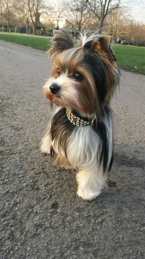 what do yorkies like to do best 25 terrier haircut ideas only on yorkie haircuts yorkie