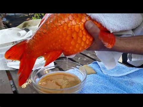 carpes ko 239 et poissons de bassin saison 2015