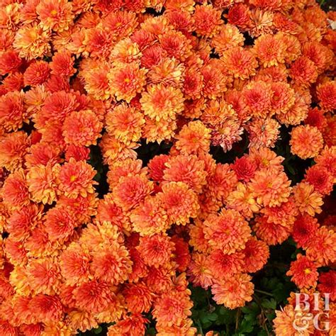 can fall mums survive frost fall mums