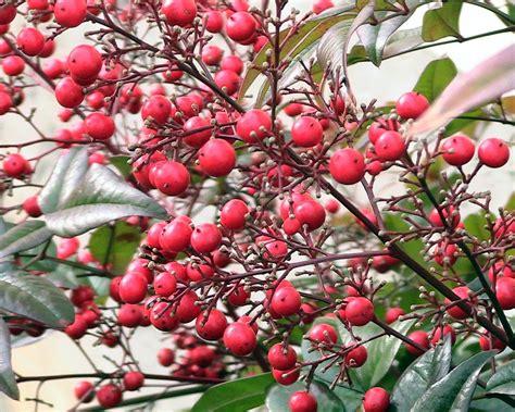 file nandina bush berries jpg wikimedia commons