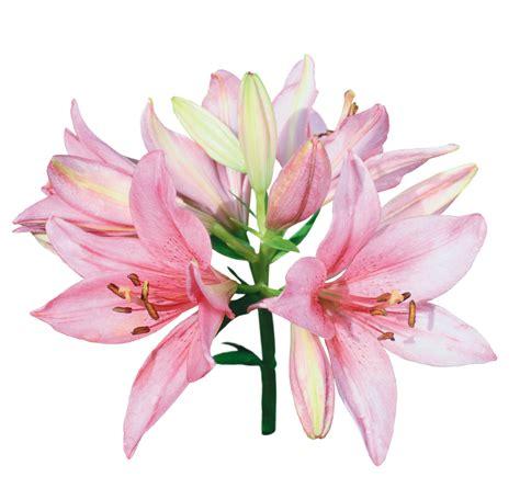 imagenes en png de rosas 174 colecci 243 n de gifs 174 scrap de flores gigantes