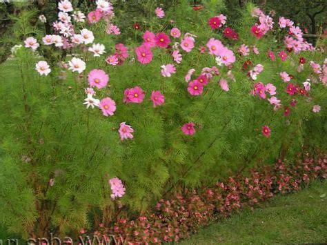 cosmos fiore rosa fiore cosmo foto