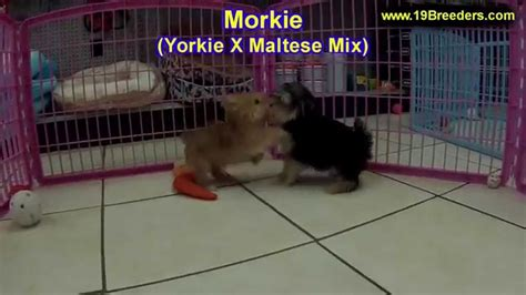 puppies for sale albuquerque morkie puppies dogs for sale in albuquerque new mexico nm 19breeders