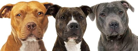 terrier colors american staffordshire terrier price colors size