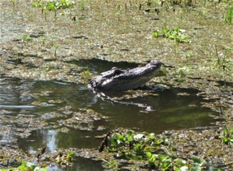 airboat sw tours baton rouge 178 best images about louisiana bayou on pinterest boats