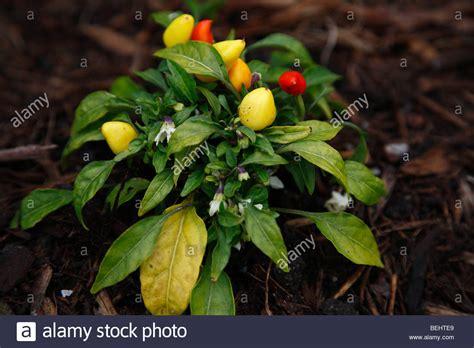 decorative pepper plants ornamental peppers stock photos ornamental peppers stock
