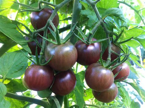 tomato black cherry urban seedling