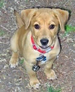 shar pei pomeranian mix 25 best ideas about beagle mix on beagle mix puppies puggle puppies and