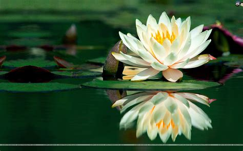fiore loto la meraviglia fiore di loto benessere e armonia