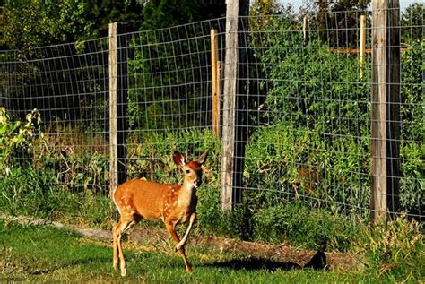 How To Keep Deer Out Of Vegetable Garden Large And How To Keep Deer Out Of Vegetable Garden