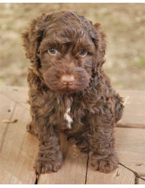 goldendoodle puppies for sale in sc 25 best ideas about labradoodle puppies for sale on