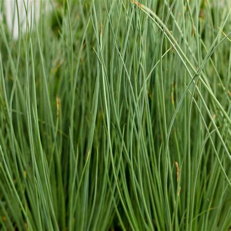 How To Get Usda Certified graceful grasses 174 blue mohawk 174 soft rush juncus