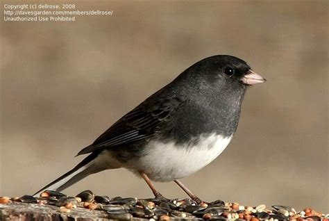 bird pictures dark eyed junco junco hyemalis by dellrose