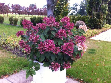 Hortensie Wims by Rispen Hortensie Wims Hydrangea Paniculata Wims