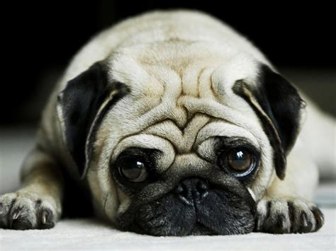 what is a pug bred for pug characteristics breeders guide