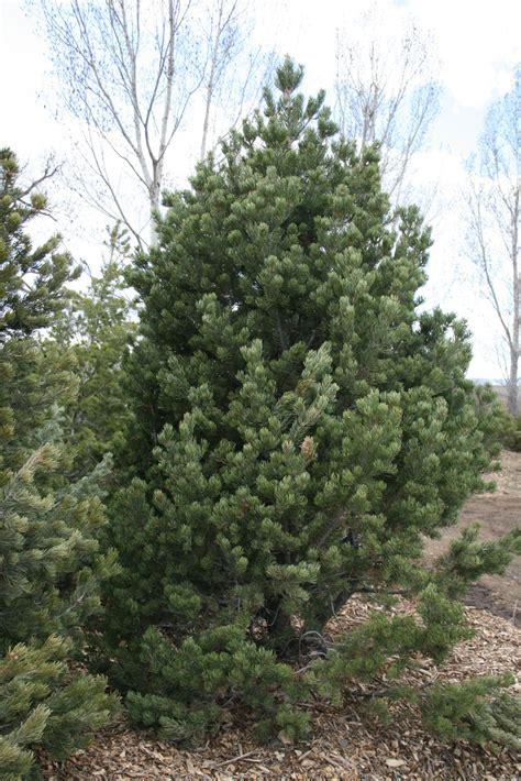 sales on trees pine pinon creekside tree nursery