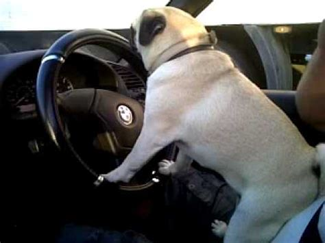 pug driving car the 20 pugs driving cars like a bajiroo