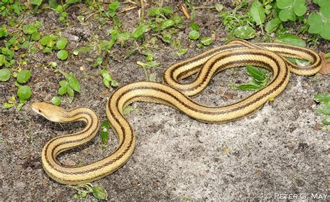 Garden Snake With Yellow Stripe Of A Yellow Rat Snake Snakes
