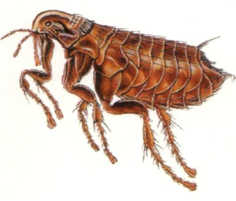 with fleas six deadly animals that can fit into your shoes interesting 6