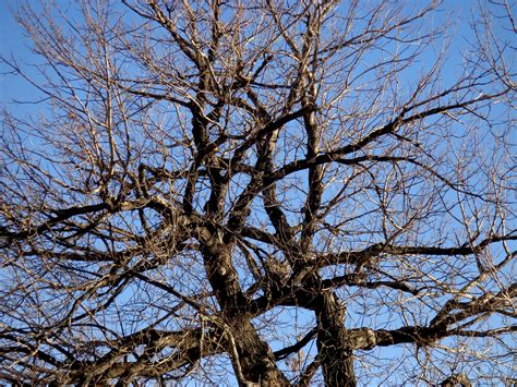 winter tree winter tree branches picture free photograph photos