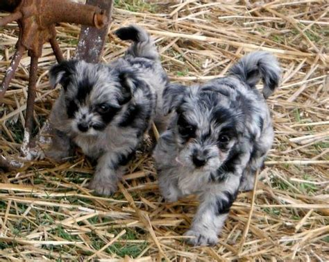 blue yorkie puppies images of unique puppies blue merle yorkipoo puppies mini poodle