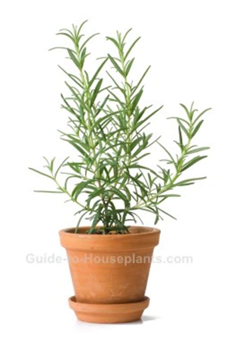 growing rosemary plant indoors   grow rosemary herb