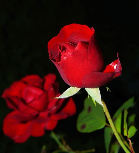 imagenes rosas dark rose images 183 pexels 183 free stock photos