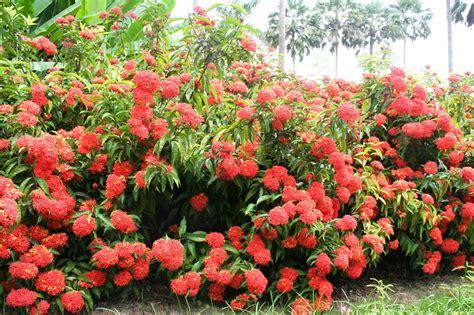 flowering tropical shrubs 姹紫嫣红 正是龙船花开时 中国科学院西双版纳热带植物园