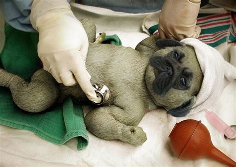 pug baby images 77 best images about pugs on fallen pug and dairy