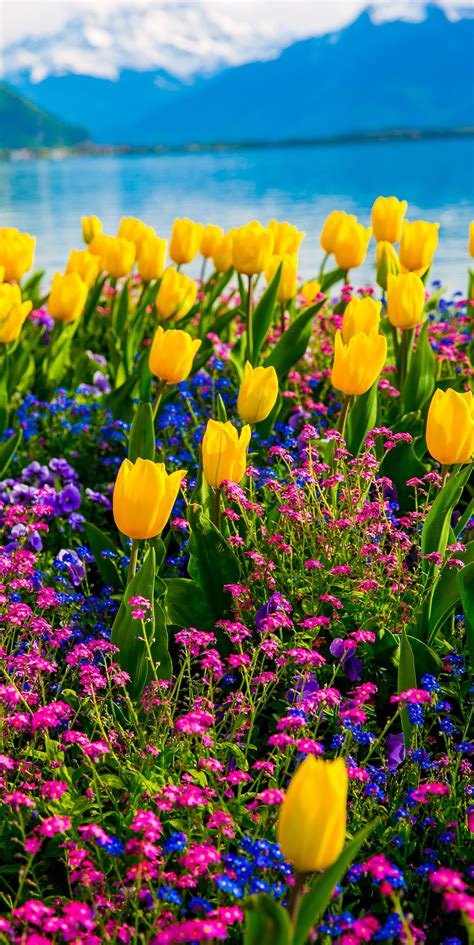 Geneva Flowers 2 yellow tulips flowers on lake geneva with swiss