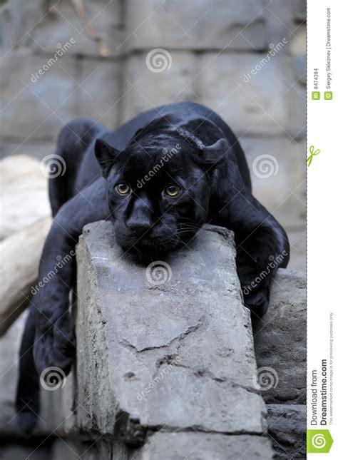 imágenes jaguar negro jaguar negro foto de archivo imagen de pista animal