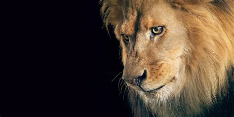hd wallpapers for laptop lion terriod animals hd wallpapers